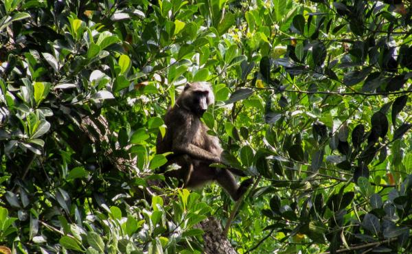 A Ugandan baboon sits in a farmer's jackfruit tree.