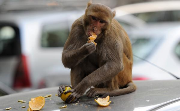 A monkey sits on a car and eats an orange snatched from a fruit vendor in New Delhi in 2012. The city has tried numerous schemes to bring its large and rambunctious monkey population under control. Now it is employing men to mimic the calls of the aggress