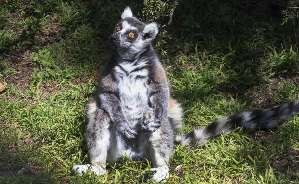 Maki, the 21-year-old male ring-tailed lemur was discovered missing shortly before the zoo opened to visitors, zoo and police officials said. They're seeking tips from the public in hopes of finding the lemur, explaining that Maki is an endangered animal