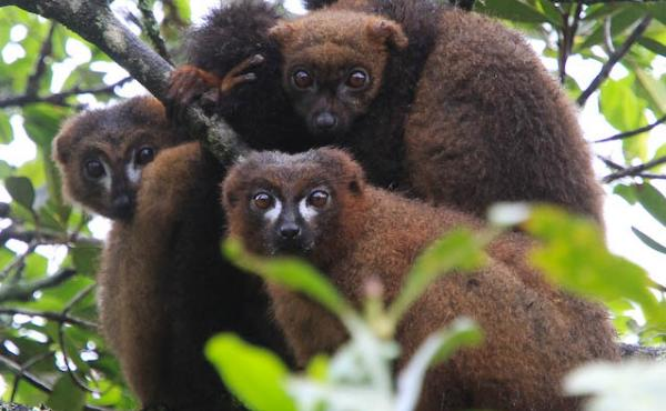 Red-bellied lemurs in Ranomafana National Park, Madagascar. Researchers who observed nine of the animals there could clearly see them sniffing fruit and deciding whether to eat it based on how it smelled.