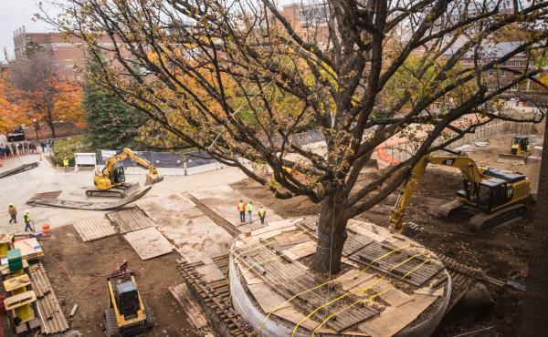 Construction workers lift an oak tree to move it to the other side of the University of Michigan's Ross School of Business.