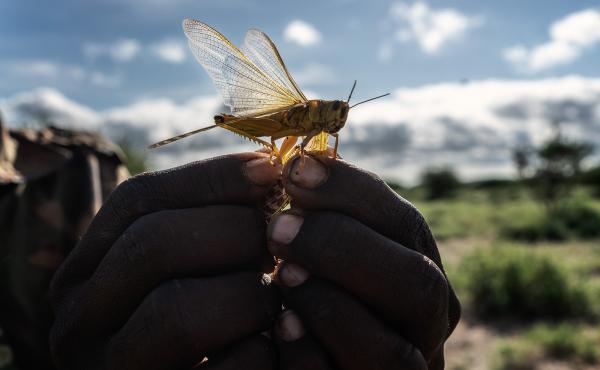 A man holds a desert locust in his hand in Kenya's Rift Valley. Farmers in central Kenya fear the locusts will strip vegetation from the rangeland where their livestock graze.