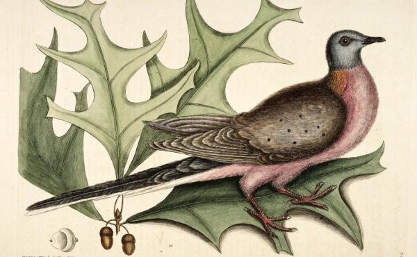 A male passenger pigeon, illustrated in a book of natural history printed in 1754.