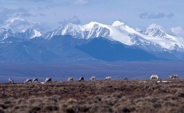 Caribou graze on the coastal plain of the Arctic National Wildlife Refuge. The Trump administration has held the first oil lease sale in the refuge.