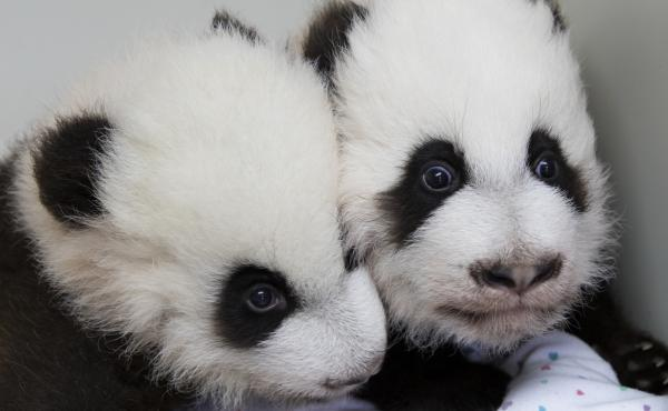 A photo provided by Zoo Atlanta, shows giant panda twins Ya Lun (left) and Xi Lun on Dec. 9.
