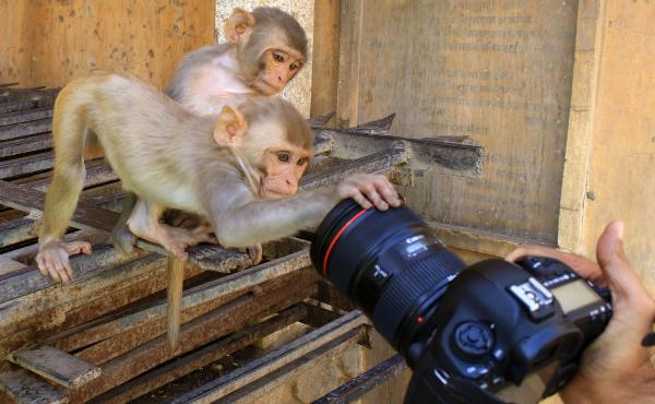 Macaques check out a camera in Galtaji Temple in Jaipur, India. Monkeys have been known to sneak into swimming pools, courts and even the halls of India's Parliament. One attorney told author Mary Roach about a macaque that infiltrated a medical institute