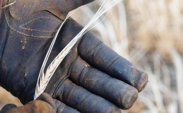 A head of poor-quality malt barley taken directly from a field in Power, Mont. Heat and a lack of water resulted in small and light kernels. Grain rejected for malt barley often ends up as animal feed.