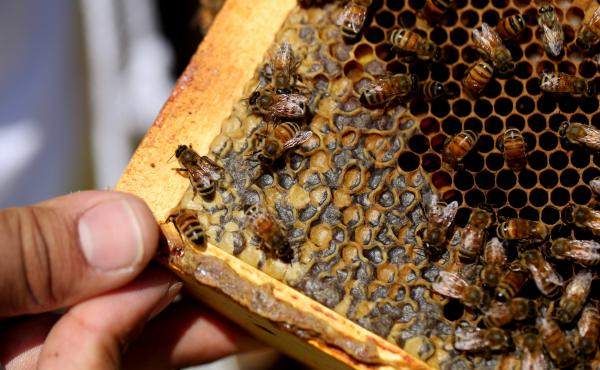 Bees crawl over larvae and capped honey cells on a hive frame. Larvae are especially vulnerable to pests like Varroa mites.