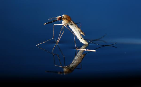 This adult Anopheles gambiae mosquito — the kind that spreads malaria — was genetically modified as part of the study.