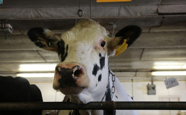 Unlike most dairy cows in America, which are descended from just two bulls, this cow at Pennsylvania State University has a different ancestor: She is the daughter of a bull that lived decades ago, called University of Minnesota Cuthbert. The bull's froze