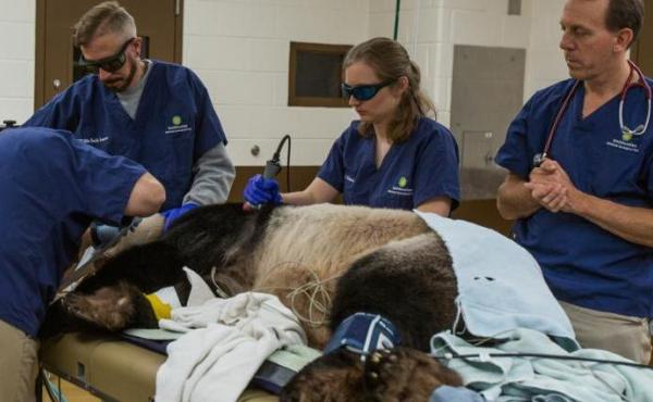 Tian Tian receives laser therapy treatment during a full veterinary exam.