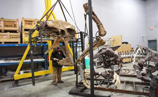A team of blacksmiths, welders, artists and scientists have been working together in Canada to mount the T. rex bones without damaging them. Metal cradles hold 150 of the major bones precisely in place.