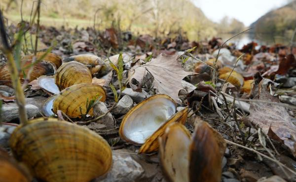 "Biologists pile recently dead mussel shells on the edge of the Clinch River after documenting the species' number and type. The smell can get ""real bad,"" says biologist Rose Agbalog."