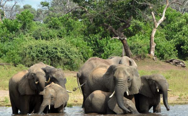 Elephants in the Chobe National Park in Botswana. Eighty-seven elephant carcasses were found in the country, months after it disarmed its anti-poaching unit.