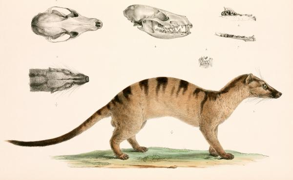 The civet (above), a mammal in the mongoose family, was a carrier of another coronavirus — SARS. But it turned out in that instance that bats were the original source of the virus.