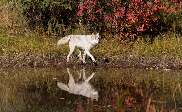 An adult grey wolf walks at waters edge in Montana in October 2018. Twenty-five years ago, federal wildlife officials reintroduced wolves to Idaho. Recovery went well enough that in 2011 the animal came off the endangered species list. Since then, hunters