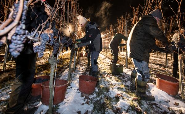 Making ice wine requires the grape to be picked and pressed at below-freezing temperatures, like in this vineyard in southern Germany. So, only a few places in the world — mainly Canada and Germany — produce it. But now, vineyards in frigid parts of t
