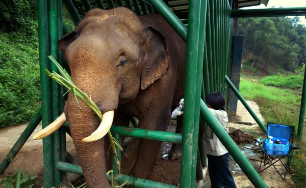Elephants, unlike humans or civets, are herbivores. The fermentation happening in their gut as they break down cellulose helps remove the bitterness in the coffee beans. Here, an elephant receives medical treatment from the Golden Triangle Asian Elephant