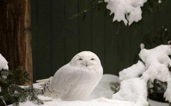 A snowy owl female named LaGuardia at the Vermont Institute of Natural Science.