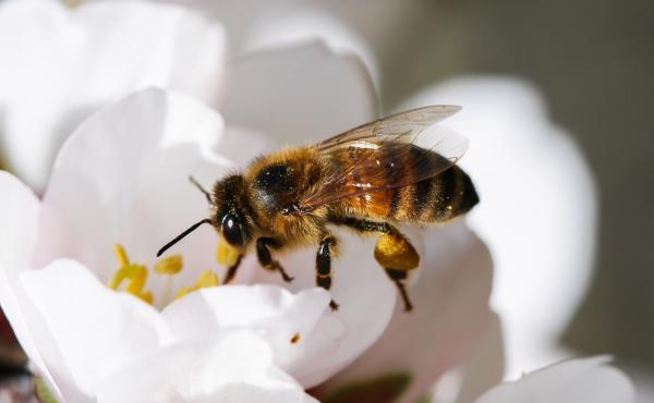 With an American honeybee queen for a mother and a European honeybee drone for a father, this worker bee has a level of genetic diversity unseen in the U.S. for decades. Researchers at Washington State University hope a deeper gene pool will give a new ge
