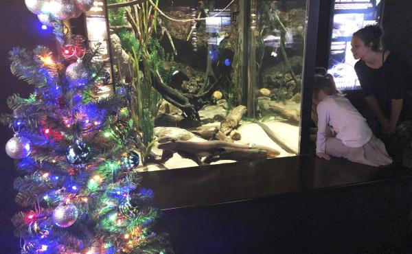 The Tennessee Aquarium says a system connected to an electric eel's tank enables his shocks to power strands of lights on the nearby tree.