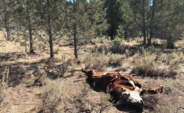 The crumpled carcass of a bull lies on U.S. Forest Service ground. It was among several killed and mutilated this summer in eastern Oregon.