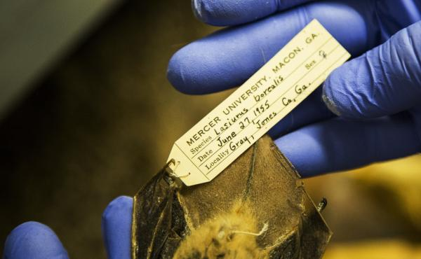 Biological specimens are worthless without a record of when and where they were collected. But with that information, specimens like this Eastern Red Bat from Jones County, Ga. become time capsules.