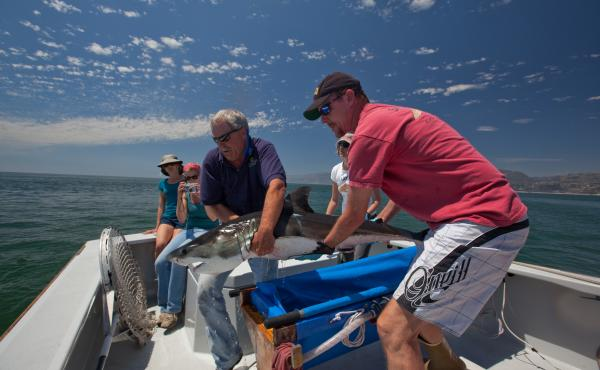Scientists John O'Sullivan of the Monterey Bay Aquarium and Chris Lowe of California State University release a tagged juvenile white shark off Southern California, part of an effort to track their movement.