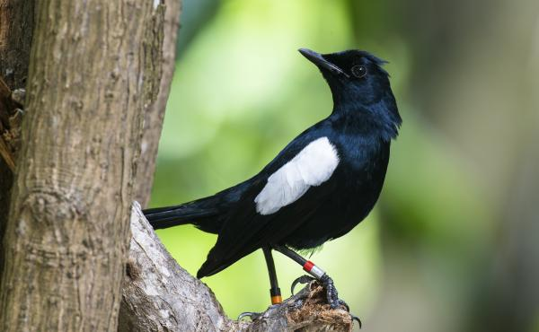 A Seychelles magpie-robin at the protected Cousin Island Special Reserve in Seychelles.