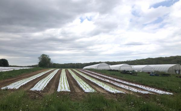 Lettuce sprouts amid rows of plastic covering the ground at One Straw Farm, an organic operation north of Baltimore. Although conventional farmers also use plastic mulch, organic produce farms like One Straw rely on the material even more because they mus