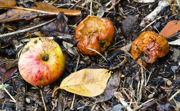 Rotten, fermented fruit has some nutritional value, and may have looked pretty good to our hungry ancient ancestors. Evolving the ability to metabolize the alcohol in fermented fruit may have helped us adapt to a changing climate 10 million years ago, res