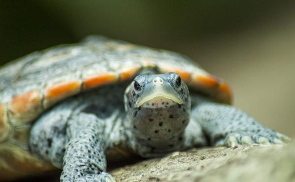 In less than a hundred years, thousands upon thousands of Diamondback Terrapins had succumbed to the American appetite, depleting the species.