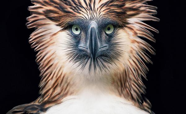 The Philippine eagle Pithecophaga jefferyi faces extinction from mining, pollution and poaching.
