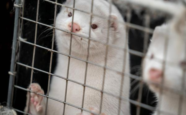 Minks look out from a cage after a farm near Naestved, Denmark, was told to kill off its herd Friday.