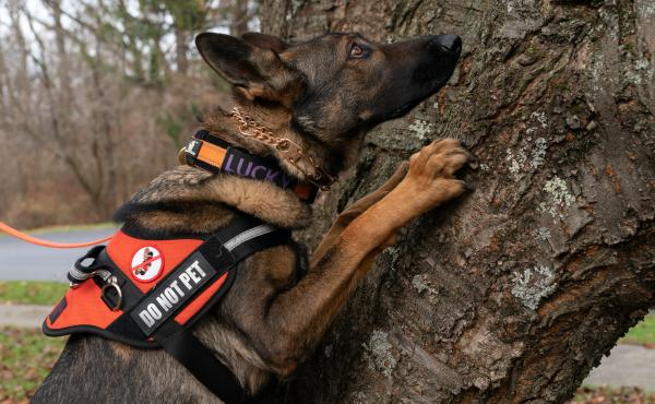 Lucky searches a tree for spotted lanternfly eggs. The insects often lay them in hard-to-reach places.