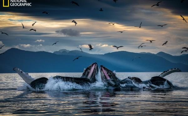 Humpback whales, working in teams, circle herring with disorienting curtains of bubbles off Alaska's coast, then shoot up from below with their mouths open. This innovation developed among unrelated groups of humpbacks but is now a widely adopted practice