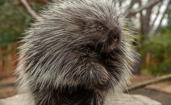 The North American porcupine has a cute face, but it has upward of 30,000 menacing quills covering much of its body. The slow-moving herbivore uses them as a last-resort defense against predators.