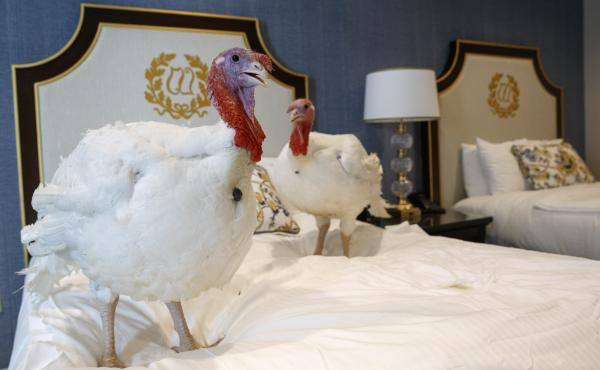 Two male turkeys from North Carolina named Bread and Butter hang out in their hotel room at the Willard InterContinental Hotel in Washington, D.C., ahead of Tuesday's pardoning.