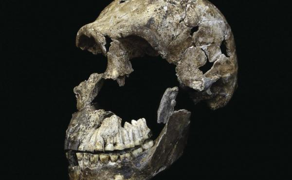 This is a skull of Homo naledi from the Rising Star cave system in South Africa.