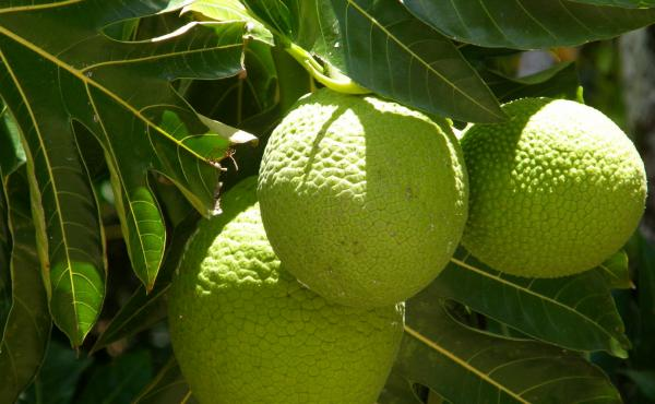 Breadfruit is a protein and nutrient-rich staple in Hawaii and other islands in the Pacific Ocean.