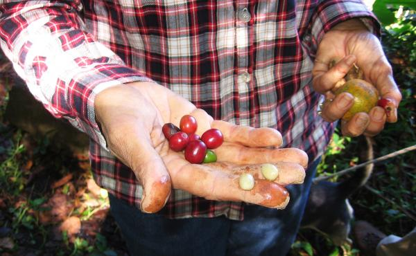 Elena Biamon holds coffee berries grown on her farm near Jayuya, a town in Puerto Rico's mountainous interior.