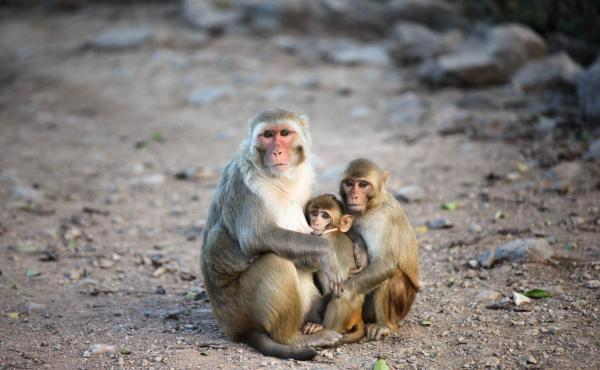 Family means a lot on Cayo Santiago, an island and monkey research colony off the coast of Puerto Rico. The colony of rhesus macaques living on the island since the 1930s has allowed scientists to trace kinship ties and effects across an extended communit