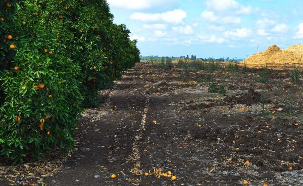 The drought forced many citrus farmers near Orange Cove, Calif., to mulch their trees because they couldn't afford to keep them alive. Recent rain and new groundwater regulations have eased the crisis, but only slightly.