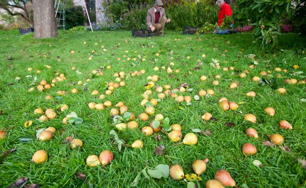 Pears being harvested to make perry in an orchard at Acorn Bank, near Penrith, Cumbria, U.K. The drink has long been revered in England, South Wales and Normandy, France, and was a favorite of Napoleon's. Now the beginning of a U.S. perry revival may be u
