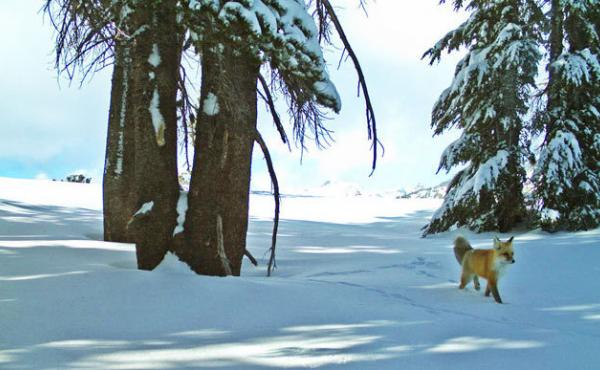 A Sierra Nevada red fox was photographed twice in recent weeks, thanks to a remote motion-sensitive camera.