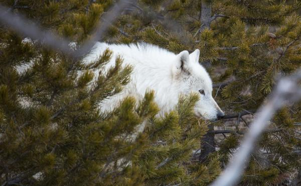 The alpha female of the Canyon Pack at Yellowstone National Park sustained a gunshot wound and was euthanized last month near Gardiner, Mont.