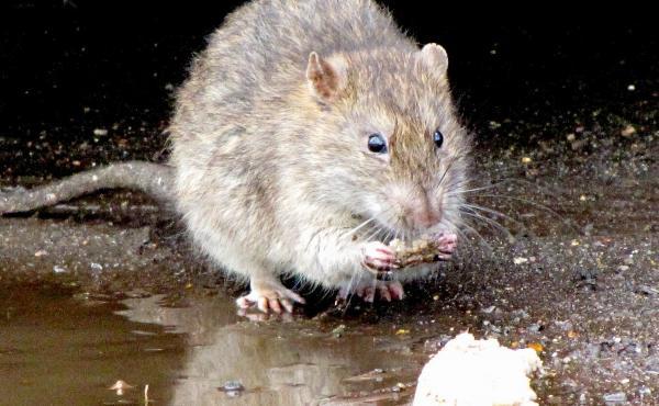 A rat in 2010.