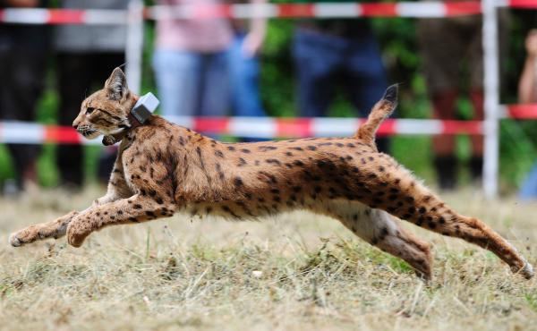 A lynx leaves his cage during a release into the wild, in July in Kaiserlautern, western Germany.