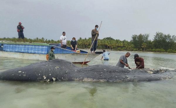Researchers collect samples from the carcass of a dead whale at Wakatobi National Park in Southeast Sulawesi, Indonesia.
