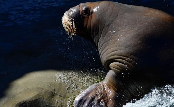 A walrus pictured at the Pairi Daiza animal park in Brugelette, Belgium.